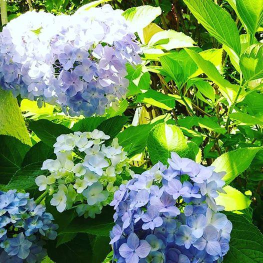 アジサイ・今日の庭の花