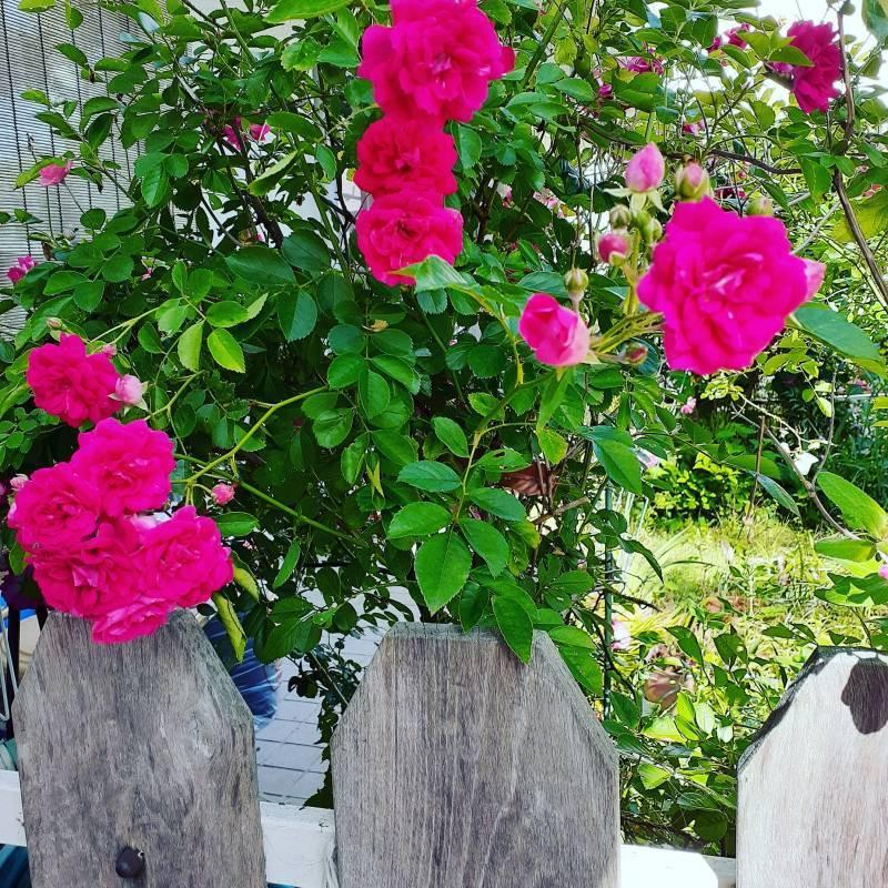 薔薇が咲きました♪